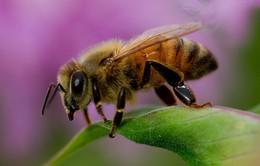 Chữa viêm da dị ứng bắng nọc độc của ong mật