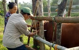 Hà Tĩnh tiêm vắc-xin phòng bệnh cho 30 nghìn gia súc