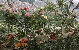 Mê mẩn vườn hồng hơn 100 cây khoe sắc trên ban công