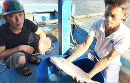 Ngư dân Đà Nẵng câu được cá, nghi là sủ vàng
