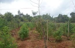 Cảnh giác thủ đoạn thuê đất rẫy để trồng.. cần sa