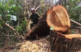 Khám nghiệm hiện trường vụ phá rừng phòng hộ tại Đắk Lắk