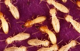 Phát hiện loài mối có thể thực hiện việc tự sinh sản mà không có con đực