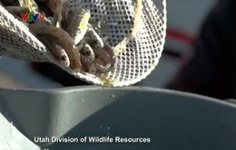 Mỹ thả hàng triệu con cá xuống hồ duy trì đa dạng sinh học