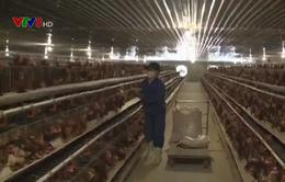 Liên kết đầu ra trong chăn nuôi ở Quảng Ngãi