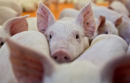 FAO họp khẩn cấp tại Bangkok bàn cách đối phó dịch tả lợn châu Phi
