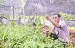 Nông dân Quảng Trị làm giàu từ cây dược liệu