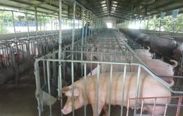 Triển khai các giải pháp phòng ngừa dịch tả lợn châu Phi