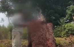 Thủ đoạn tàn phá rừng lim ở Vườn quốc gia Tam Đảo