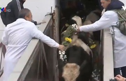 Tập đoàn TH đưa bò sữa đến Moscow