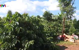 400 ha cà phê 20 năm không dùng thuốc trừ sâu