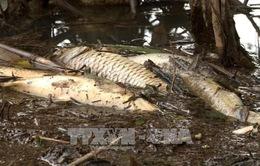 Sau mưa lớn, cá chết hàng loạt trên sông Phủ đoạn qua thị trấn La Hà, Quảng Ngãi