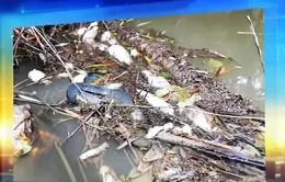Điều tra nguyên nhân cá, vịt chết hàng loạt ở sông Phủ, Quảng Ngãi