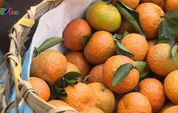 Nhân rộng mô hình trồng cam sành theo chuẩn Vietgap tại Hà Giang