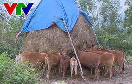 Thừa Thiên - Huế chú trọng bảo vệ đàn trâu bò trong mùa rét