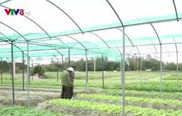 Các vùng rau sạch Quảng Nam vào vụ Tết