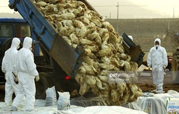 Hàn Quốc tăng cường ngăn chặn cúm gia cầm lây lan