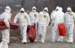 Nhật Bản tiêu hủy 91.000 con gà, ngăn cúm gia cầm lây lan