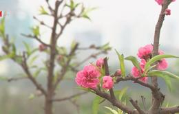 Đào nở sớm, nông dân Nhật Tân bán lỗ