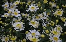 Vườn cúc họa mi nở muộn đẹp ngỡ ngàng ngày cuối đông