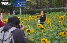 Ngắm vườn hoa mặt trời đẹp rực rỡ giữa lòng Hà Nội
