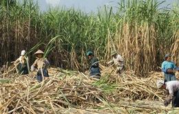 Giá mía thấp, nông dân Gia Lai thất thu