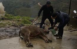 Lào Cai thêm 69 con gia súc chết vì rét