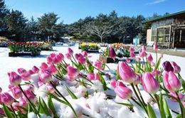 Hoa tulip đá khoe sắc tại Nhật Bản