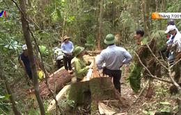 Xét xử vụ phá rừng pơ mu ở Quảng Nam