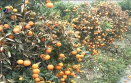 Hơn 400 cây quất cảnh chết héo nghi bị phun thuốc diệt cỏ