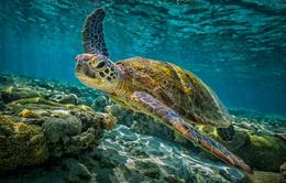 Biến đổi khí hậu ảnh hưởng đến giới tính của rùa tại Australia