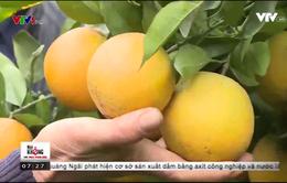 Phát triển mô hình trồng cam chín muộn đạt chuẩn VietGAP tại Hòa Bình