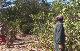 Voi rừng lại phá hoại hoa màu ở Đồng Nai