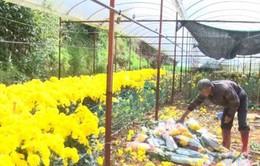 """Giá hoa cúc """"chạm đáy"""", nông dân Đà Lạt ngậm ngùi nhổ bỏ hàng loạt"""