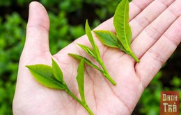 Trà Thái Nguyên đậm đà hương vị Việt