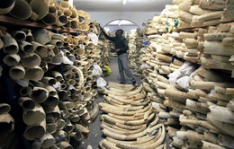 Lo ngại về việc xem xét nới lỏng các quy định về buôn bán ngà voi