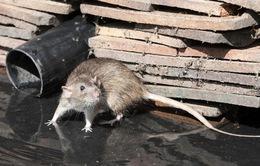 WHO cảnh báo bùng phát dịch bệnh lây nhiễm từ chuột tại Argentina
