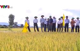 Hiệu quả cánh đồng mẫu lớn ở Bình Định