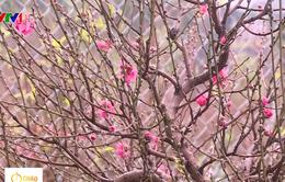 Người dân trồng hoa đào phấn khởi vì được mùa, được giá