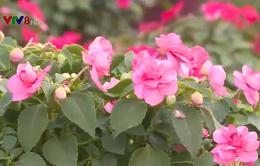 Làng hoa truyền thống tại Thừa Thiên Huế đã bắt đầu khoe sắc