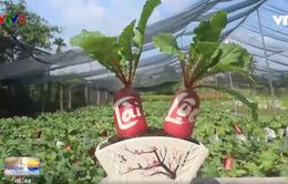 Độc đáo củ cải hồng phát chưng Tết ở xứ dừa Bến Tre