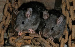 Ecuador tiến hành chương trình diệt chuột với thiết bị bay không người lái