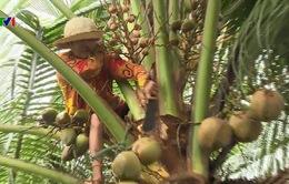 Người phụ nữ 60 tuổi mưu sinh trên ngọn dừa