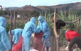 Kon Tum tiêu hủy gần 1.500 con gia cầm nhiễm cúm A/H5N6