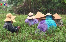 Khánh Hòa: Mưa kéo dài, nhiều hoa cúc Tết bị chết vì thối rễ