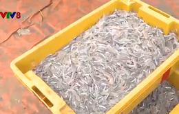 Trúng đậm mùa cá cơm, ngư dân Quảng Ngãi vui đón Tết