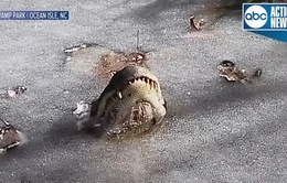 Cá sấu làm gì để sống sót trong hồ đóng băng?