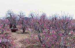 Người trồng đào lo mất Tết vì đào nở sớm