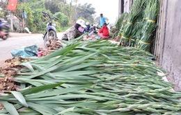 Người trồng hoa lay ơn Phú Yên thất thu vụ Tết