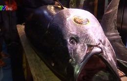 Cá ngừ khổng lồ có giá 3,1 triệu USD